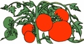 Community News and Events - Home-Grown Tomatoes with Master Gardeners!
